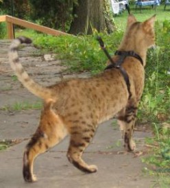 Your Chausie cat will enjoy leash walks!
