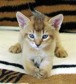 Who can resist a Chausie kitten?