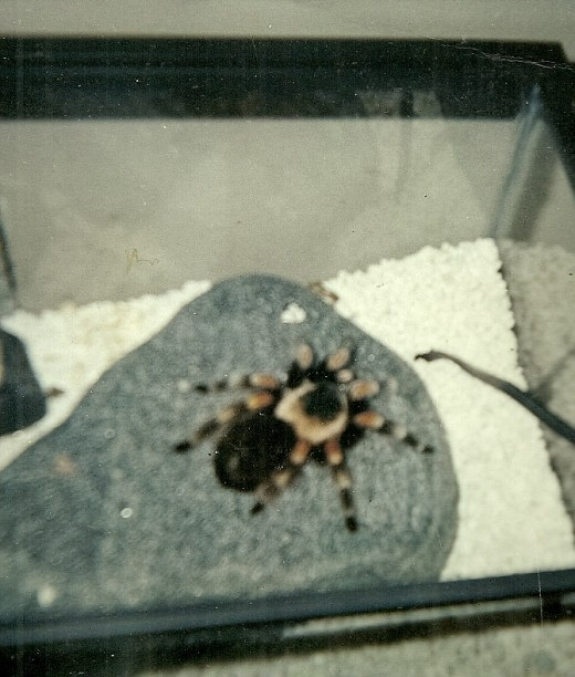 My Mexican Red Knee, Scarlett, lived for 18 years in her aquarium. This is the last photo I took of her before she passed away.