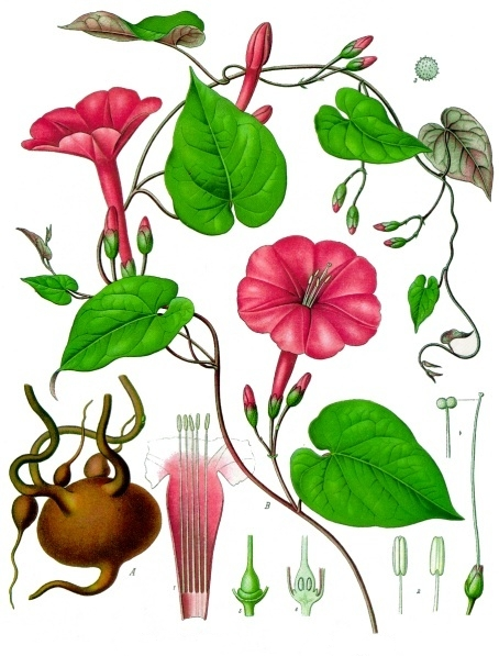 The roots of Ipomoea jalapa, when dried, are carried as the John the Conquer root amulet. Image from Wikipedia