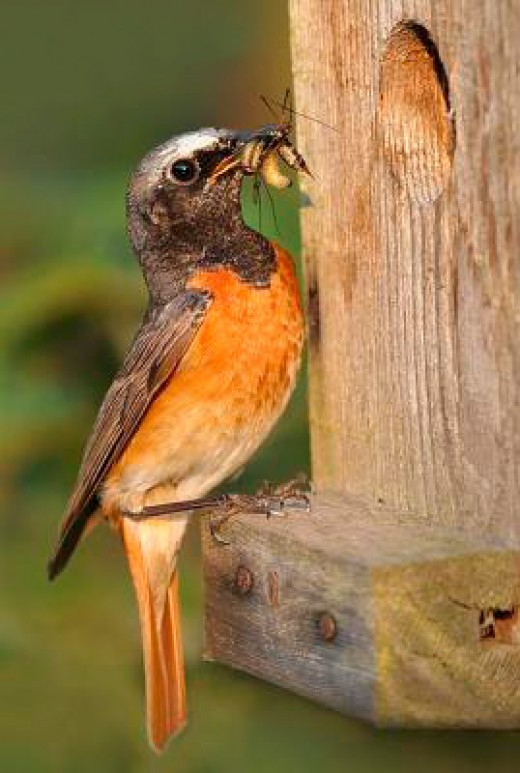 Redstarts are becoming less abundant. They readily take to nest boxes to raise their young.Photograph courtesy of Monique Bogaerts.