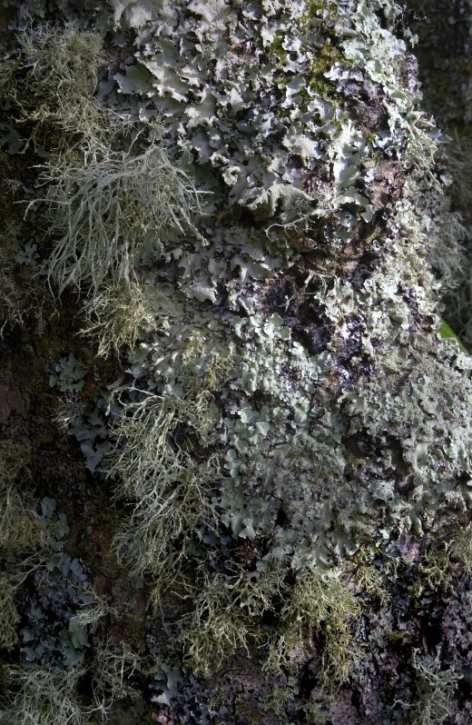 Lichen clad trees are common in the region. Photograph courtesy of H.Debussy-Jones.