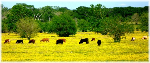 Grazing cattle amidst blooming wildflowers