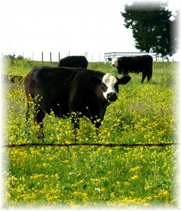 Friendly looking cows