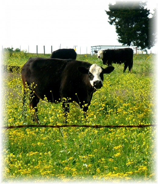 Friendly looking cows amidst wildflowers