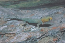 The Yellow Head Gecko