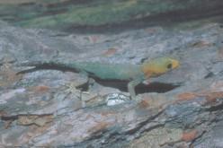 The Yellow Head Gecko