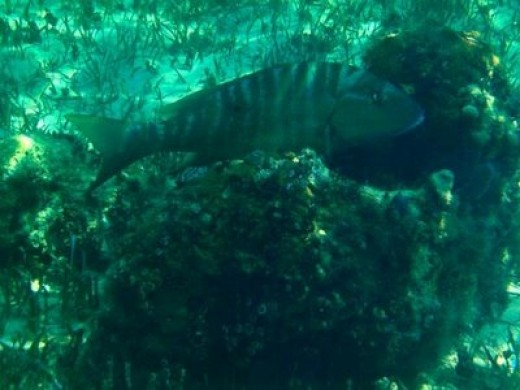 Huge grouper seen deeper out at Fortuna Beach