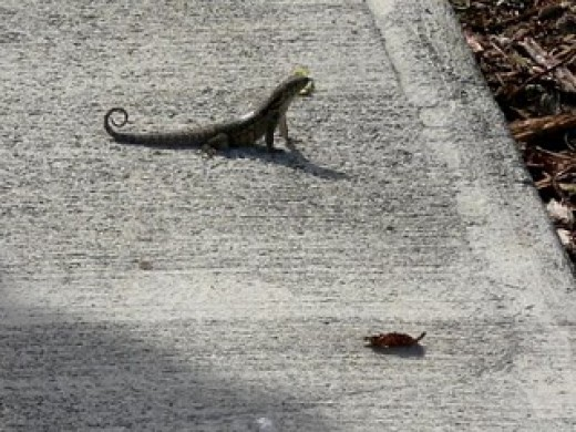 Curly Tailed Lizard on the pathways around Viva Wyndham! They are everywhere