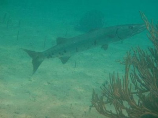 Barracuda in fortuna beach waters