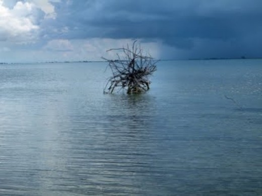Tree in water, inthe mangroves on the airboat- ecoventures tour