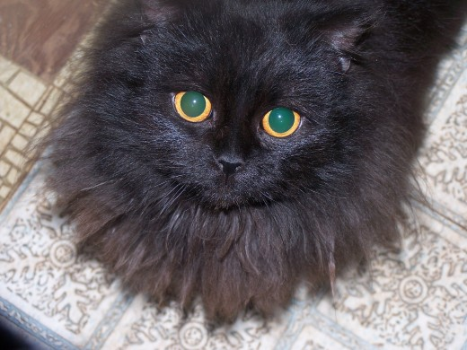Michael, Ms. Frances' love child is only half persian. Copper eyed black cat, he looks like a cross between a persian and Bombay.