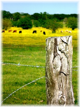 Barbed wire fencing with cattle in the distance