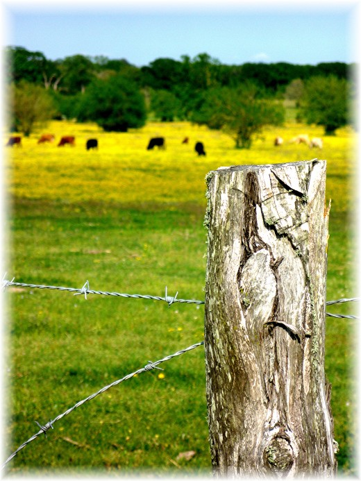 Barbed wire fencing with cattle and wildflowers in the distance