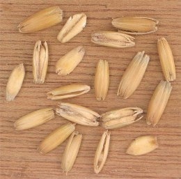 Oats in Husks