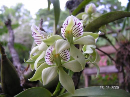 Boquete Orquidea - Orchid