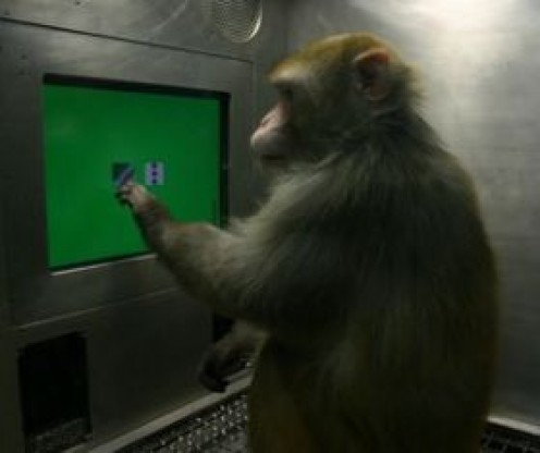 A rhesus monkey chooses between images on a touch-screen computer monitor.  In a new study, monkeys were asked to select five photographs in a particular order.  Credit:UCLA