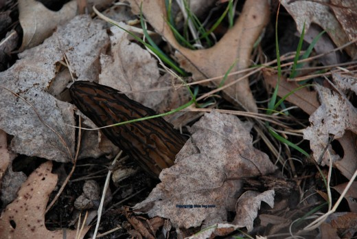 A black morel found this evening in the Manistee National Forest in Mason County, Michigan. The allure of hunting mushrooms involves more than finding them.
