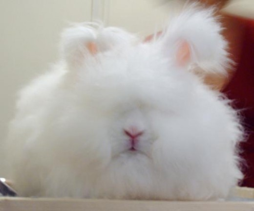This is a ruby-eyed White English Angora rabbit.  Their face and floppy ears are covered with all that fluffy hair.  When mature, they weigh 5 to 7.5 lbs.