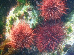 a group of urchins on a reef rock