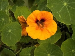 Nasturtium leaf and flower