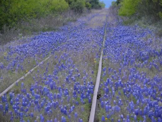 Texas Bluebonnets growing along railroad