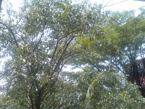 the jamun tree in my garden