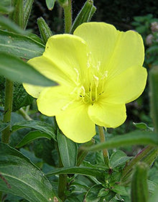 The Evening Primrose (Hey I'd welcome this weed in my garden anytime.)