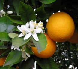 Orange on the tree with blossoms