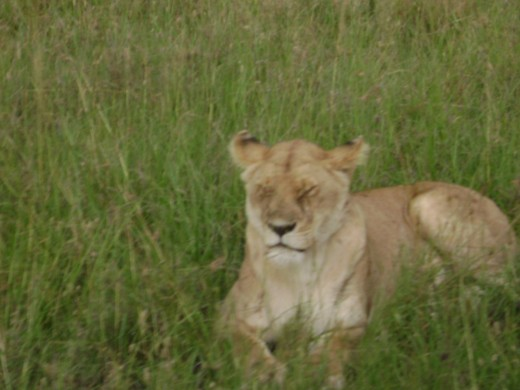 Lion resting at grass land