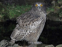The Amazing Fish-Owl: Discovered by Thomas Blakiston