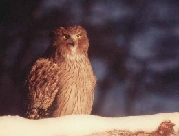 Some of the Fish Owls are auburn in hue, like this one.