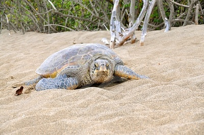 Many sea turtles rely on specific tides to lay their eggs high enough and away from the regular high tides.