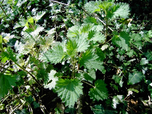 Young nettle plants are now ready for home made preparations. Photograph by D.A.L.