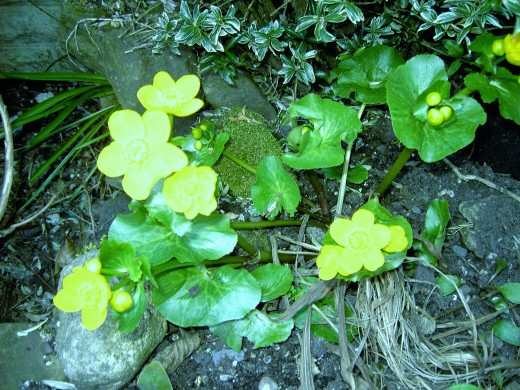 Marsh marigold is a plant of shady woodland.Photograph by D.A.L.