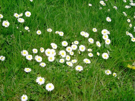 Just a small amount of sunshine is enough to make the common daisy spring into life.Photograph by D.A.L.
