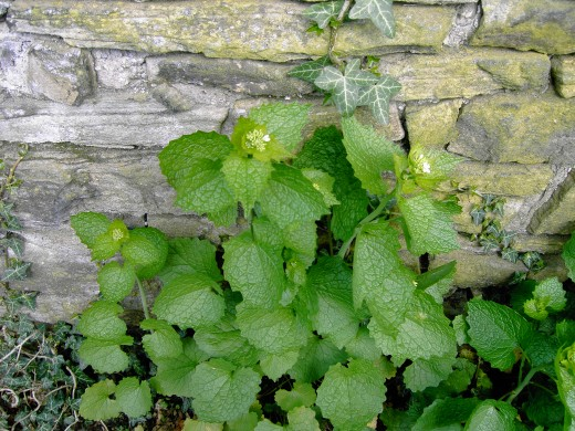jack-by-the-hedge, or ion this case by the wall. Garlic mustard lines the hedgerow during late spring.Photograph by D.A.L.