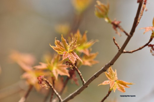 The maple is sporting new leaves, still reddish in hue.