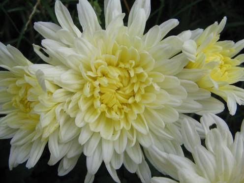 Chrysanthemum, Australia's Flower for Mothers Day