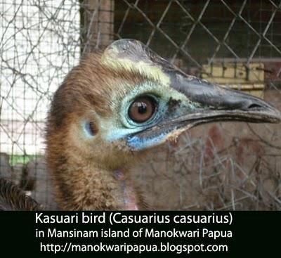Casuarius casuarius