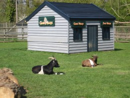 A goat, relaxing in the sun