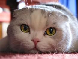 Фотографии британской и вислоухой кошки.