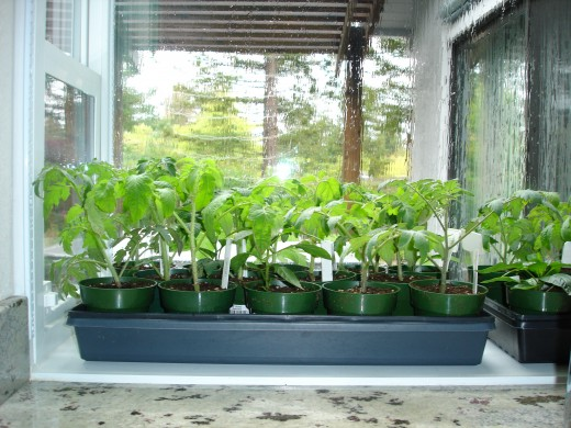 Tomato and pepper seedlings wait out the March rains in the comfort of my greenhouse window.