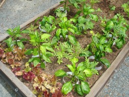 The lettuce thrives until the peppers crowd them out.
