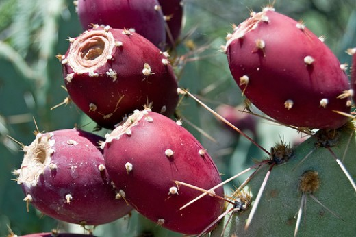 Prickly Pear Cactus, another beautiful plant to add to your flower garden.