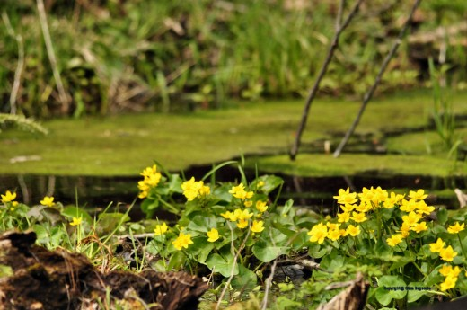 The swamp is in bloom and is a world of yellow-flowered marsh marigold and green leaves and algae.