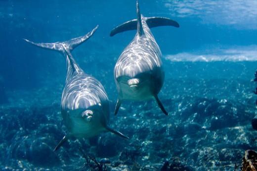 Дельфин, Крым, богатый морями может дать возможность увидеть этих замечательных.