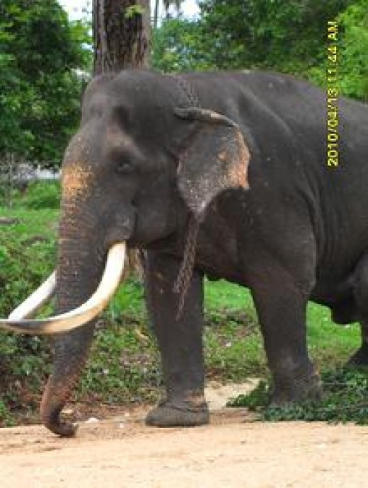 Wild Tusker who's eyes are blind because of human cruelty