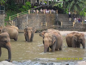 Elephant Bathing in Maha Oya and tourists watching