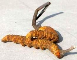Cordyceps Sinensis Fungus Growing in a Caterpillar